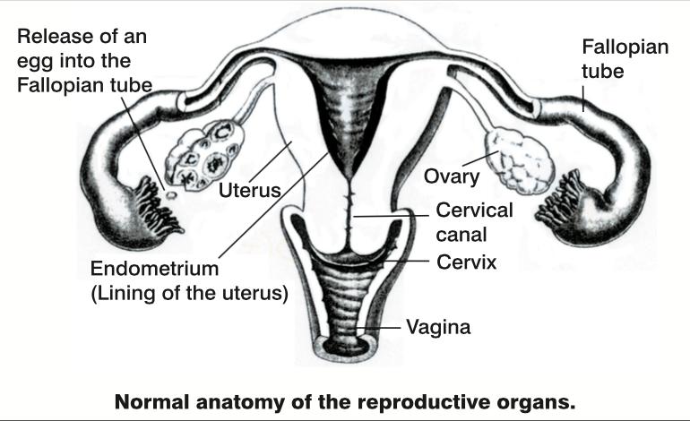 female reproductive diagram - Women\'s Ultrasound Melbourne